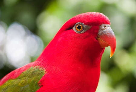 Red parrot with green wings closeup