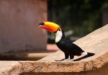 Tucan bird eating a nut Stock Photo