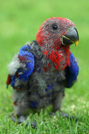 eclectus parrot: Baby red-sided eclectus parrot