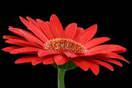 Red gerbera flower isolated on black background Stock Photo - 4879190
