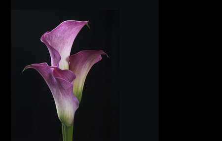 Three purple calla or arum lilies isolated on black with space for text Stock Photo
