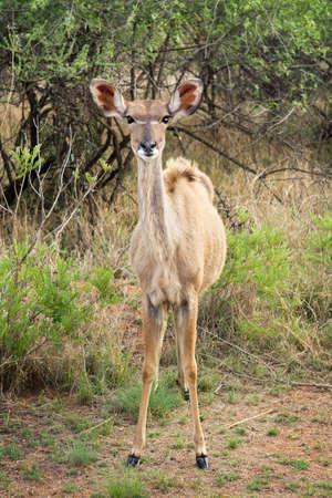 Female Kudu in the african bush photo