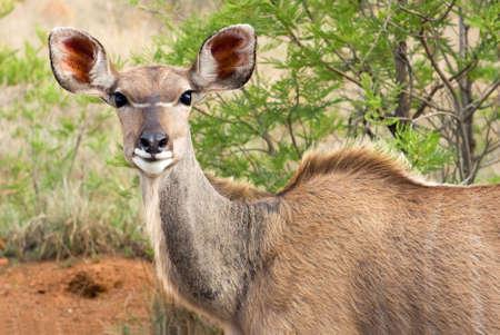 Female Kudu closeup in the african bush photo