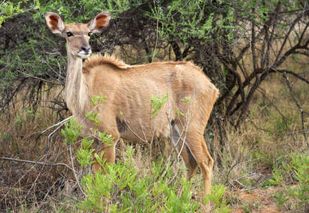Female Kudu in the african bush photo