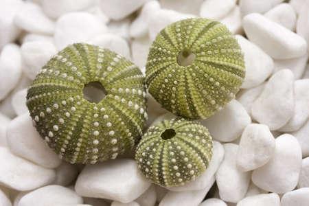 Sea urchin shells on pebbles