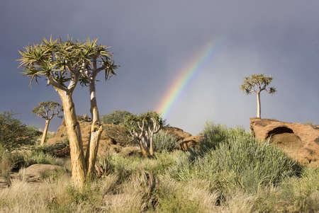 africa sunset: Arcobaleno variopinto con alberi faretra su una collina in Sud Africa
