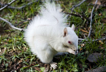 Cute albino Squirrel eating a nut Stock Photo - 9496469