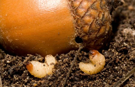 Weevil larvae freshly emerged from an acorn Stock Photo