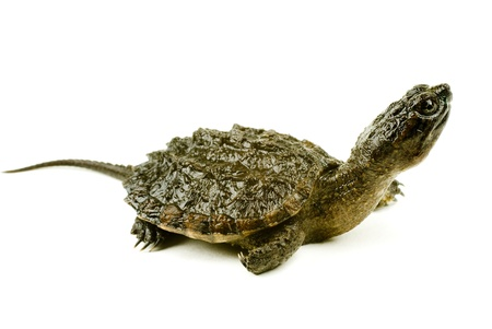 baby turtle: A baby snapping turtle isolated on a white background Stock Photo