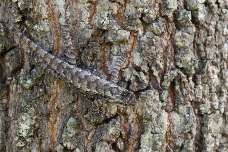 lizard in field: Se trata de un lagarto de cerca del este escondido en el tronco de un roble