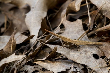 acrididae: A toothpick grasshopper hiding among fallen oak leaves in a forest Stock Photo