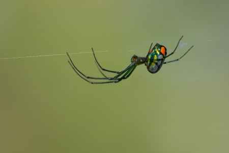 araneae: orchard orb weaver