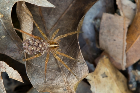 cryptic: This is a female wolf spider carrying her young on her back