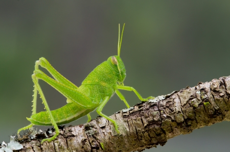 This is a bright green grasshopper nymph sitting on a lichen covered branch Stock Photo