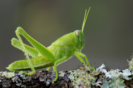 grasshopper: This is a bright green grasshopper nymph sitting on a lichen covered branch Stock Photo