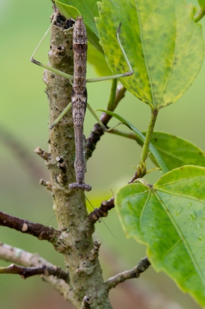 Dit is een uiterst crypid mantis op een Hibiscus planten