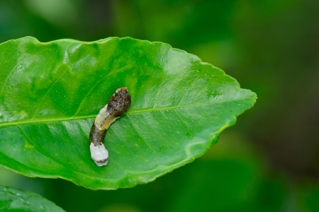 deter: This is a giant swallowtail caterpillar on a citrus leaf that looks like bird droppings