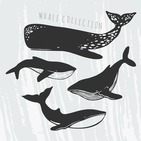 grampus: illustration of different whales: cachalot, orca, big blue whale Illustration