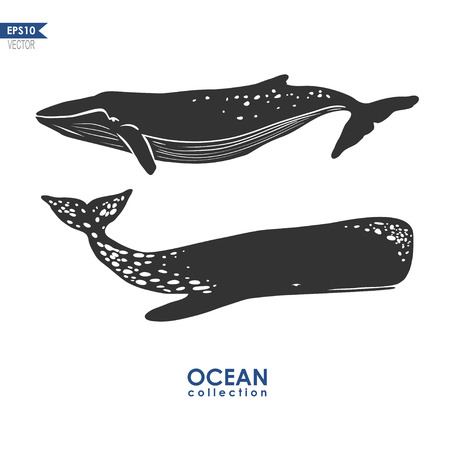 cachalot: two whales isolated on white, vector illustration: cachalot and big blue whale