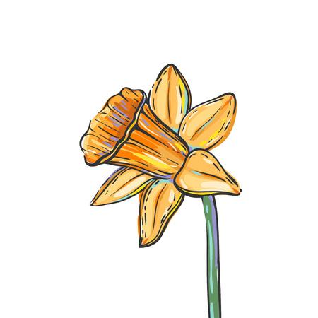 水仙の白で隔離とベクトル イラスト。水仙の花のフリーハンド ベクトル カラフルなスケッチ。  イラスト・ベクター素材