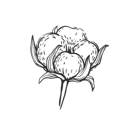 美しい手が描かれた綿の花は、白で隔離。綿球のベクトル イラスト、フリーハンドのスケッチします。