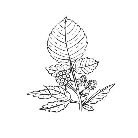 果実と葉とラズベリー支店  イラスト・ベクター素材