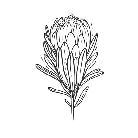 白に隔離されたプロテアの花