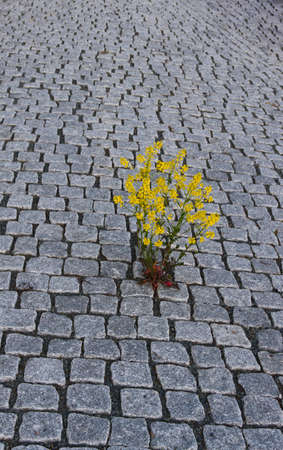 Yellow plant growing through pavement.