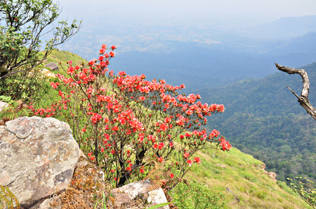 Red Flowers Named  Rhodedendron simsii  at Cliff on Phu Luang wildlife sanctuary, loei province, Thailand   photo