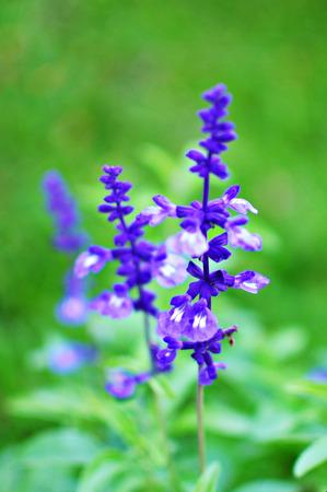 lavender flowers purple in garden photo