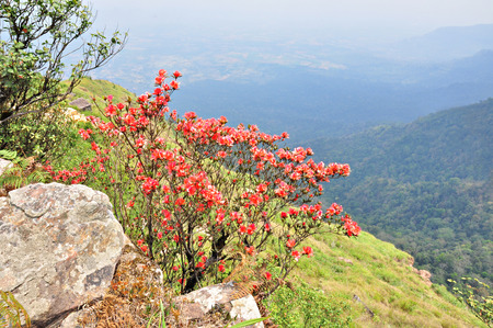 Red Flowers Named Rhodedendron simsii at Cliff on Phu Luang wildlife sanctuary, loei province, Thailand.  photo