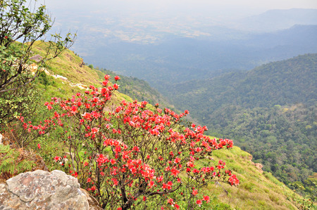 Red Flowers Named 'Rhodedendron simsii' at Cliff on Phu Luang wildlife sanctuary, loei province, Thailand. photo
