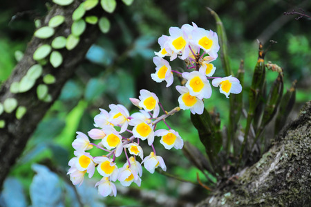 loei: This Flowers Named Dendrobium farmeri Paxton at phuluang wildlife sanctuary, loei province, Thailand.