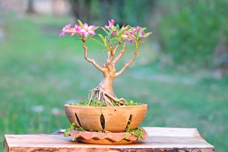 Desert rose or Ping Bignonia  In flower handmade pot placed  on Thick wood photo