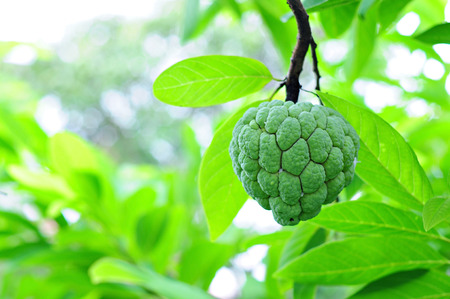 annona: Custard apple fruit hanging on tree