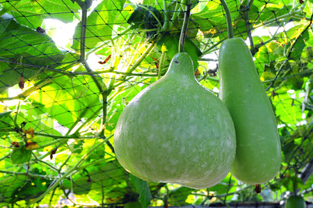 ash gourd: winter melon big hanging on liana