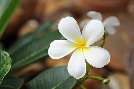 champa flower: frangipani flower with leaves