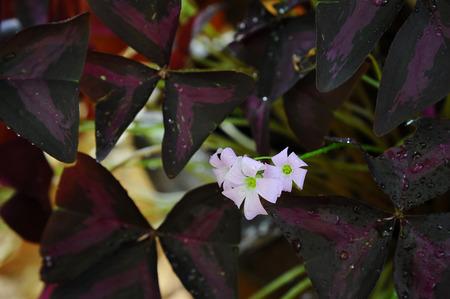 false shamrock: Purple shamrock (FlowerS Name)