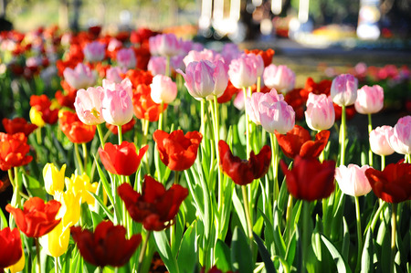 Colorful tulips (Flowers) photo