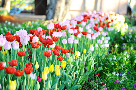 Colorful tulips in garden  (Flowers) photo