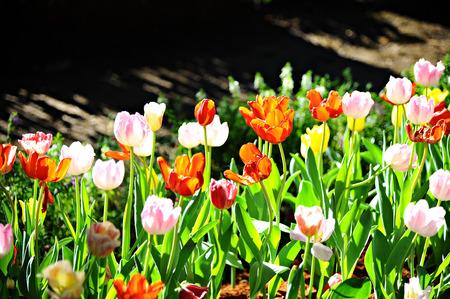 Backlight on tulips in garden (Flowers) photo