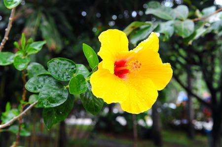malvaceae: Hibiscus Flower (hibiscus malvaceae) Stock Photo