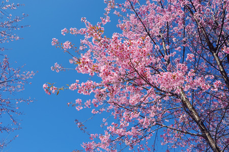 plentifully: Flower Himalayan Cherry blossom Stock Photo