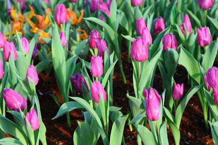beautyful: tulips in garden (Flowers) Stock Photo