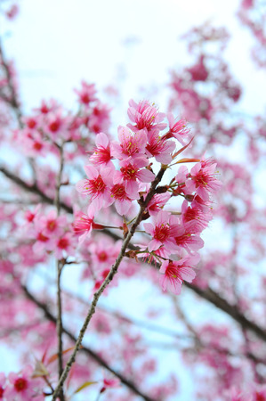 plentifully: Flower Himalayan Cherry blossom Stock Photo