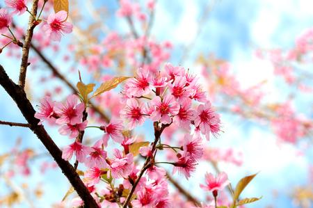 Flower Himalayan Cherry blossom Stock Photo