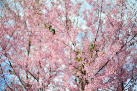 plentifully: Unfocused Flower Himalayan Cherry blossom (Blur)
