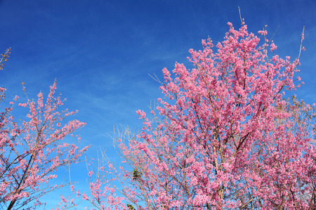plentifully: Flower Himalayan Cherry blossom (Select Point Focus)