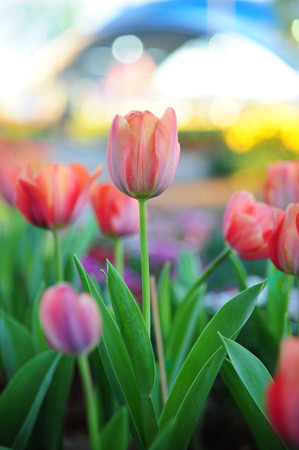 Flower Tulips in garden. Beautiful View and Background
