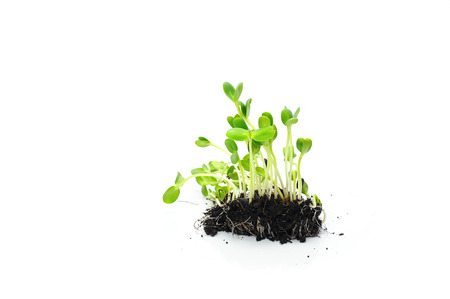 sunflower sprouts stems and root on white background Standard-Bild